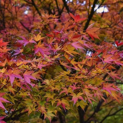 Japanese Maple 1892821 1280 (1)