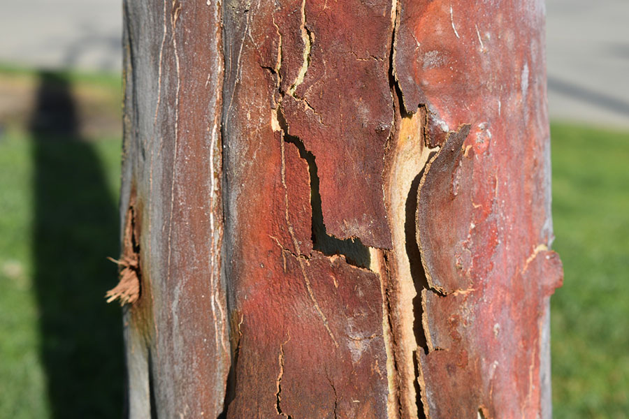 Why Does A Tree Lose Its Bark Arborist Now